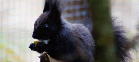 Nouveauté 2014 Les écureuils du Japon