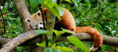 Nouveauté 2009 Les petits pandas de Chine
