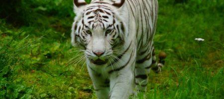 2016 Exceptionnel : Les tigres blancs !